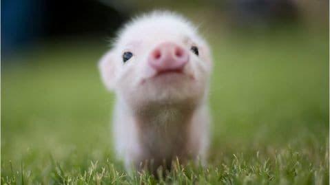 Новогодняя идея: как сделать новогоднюю игрушку свинью своими руками