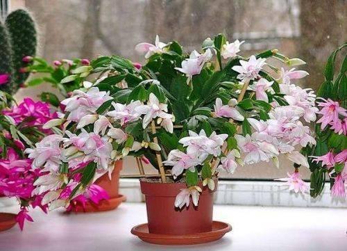 Этот цветок почти всегда цветет зимой, но есть маленькие секреты по уходу.