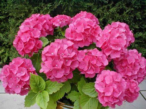 Гортензия - шикарный многолетник для вашего сада