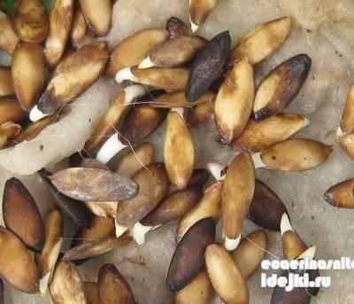 Каким концом сажать семена огурцов в землю 42
