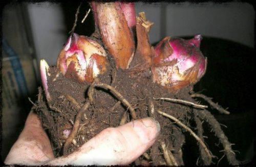 "Хранение луковиц цветов в домашних условиях - Гостиница ""Меркит"""