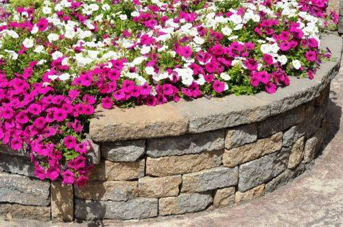 b2ap3_thumbnail_Wilmington20North20Carolina20Petunias20Behind20Retaining20Wall.jpg