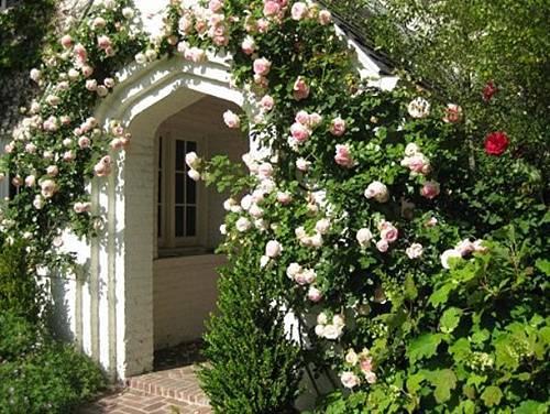 Красивые многолетние вьющиеся растения в саду.