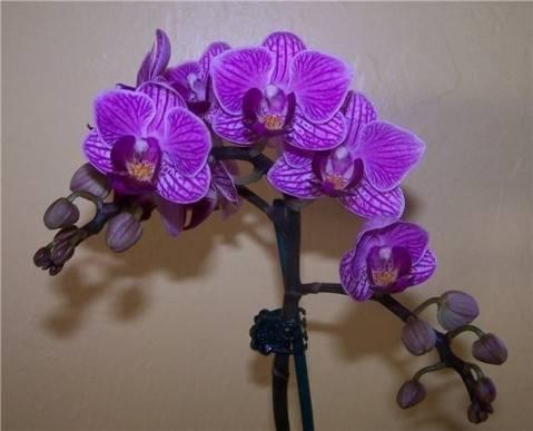Цветоводство: как рассадить орхидею фаленопсис